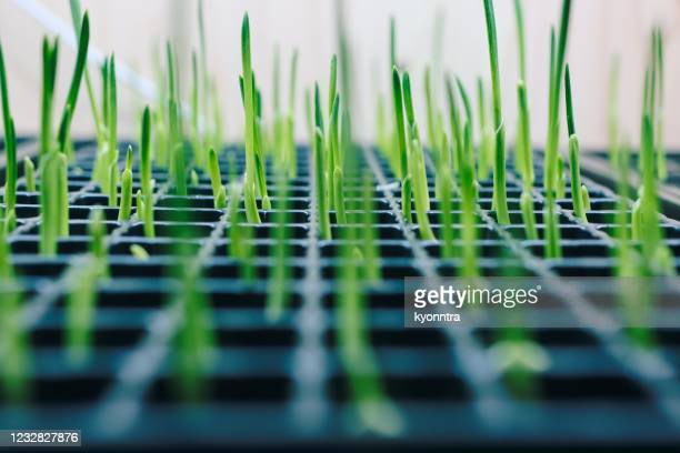 garlic sprout at laboratory - kyonntra stock pictures, royalty-free photos & images
