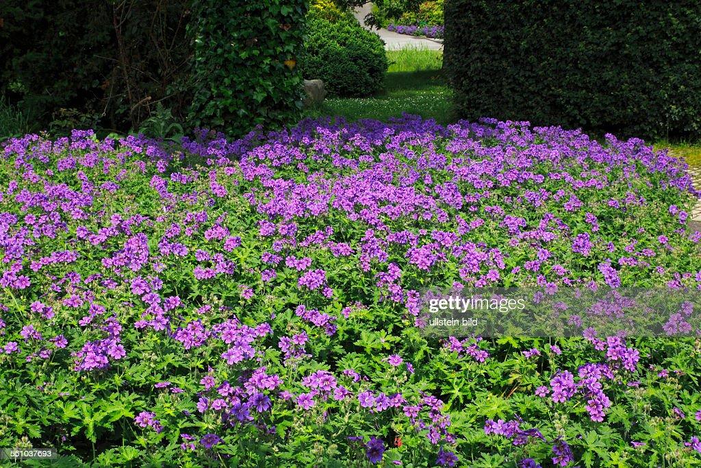 Garten Mit Blühendem Storchschnabel Im Sommer News Photo Getty Images