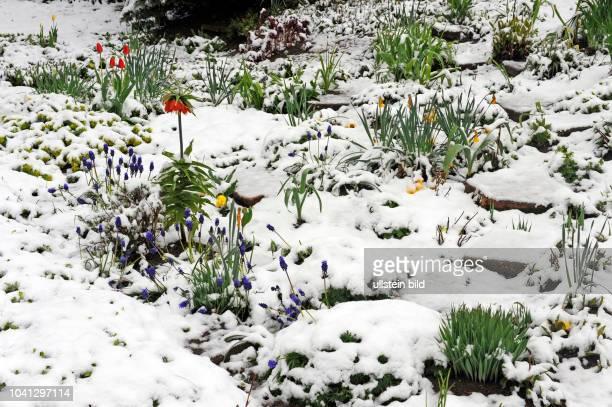 Gartenbeete mit bluehenden Blumen Kaiserkrone Traeubel Tulpen und Osterglocken im Nachwinter erneut schneebedeckt