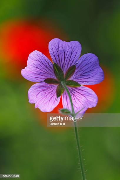 GartenStorchschnabel Storchschnabel Gartenform Blüte Rückseite Nahaufnahme im Gegenlicht