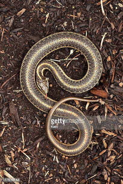 "garter snake in ""s"" form - letter s stock pictures, royalty-free photos & images"