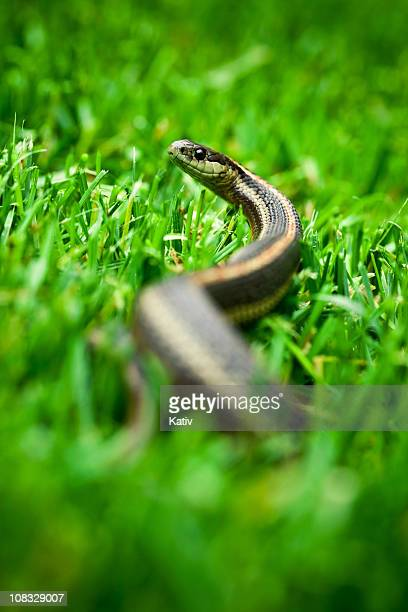 garter snake looking up - garter snake stock pictures, royalty-free photos & images
