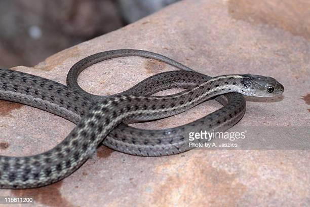 garter snake - garter snake stock pictures, royalty-free photos & images