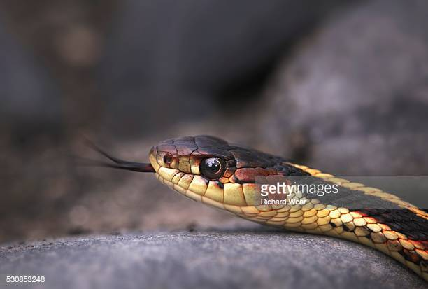 Garter snake (thamnophis) shows it's forked tongue, price creek, british columbia, canada