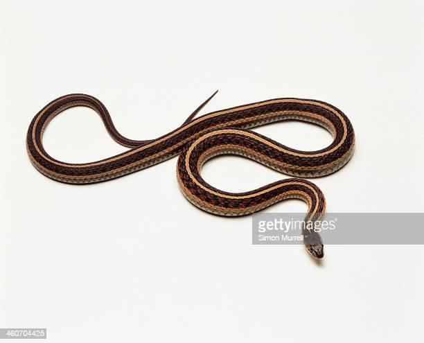garter snake, studio shot - garter snake stock pictures, royalty-free photos & images