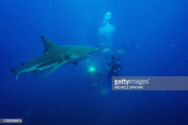 Gary Snodgrass shakes a sardines bait while divers from the Blue Ocean Dive Resort swims with black-tip sharks and other fishes during a baited shark...