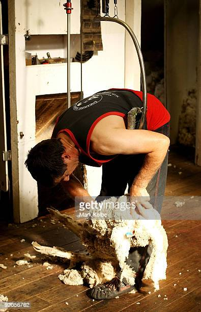 Gary Valenaus shears a sheep during spring shearing at Cherry Hill Pastoral Company property on October 19 2009 in Uralla Australia Shearing in...