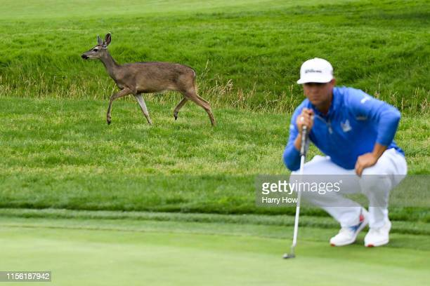 Gary Woodland of the United States lines up a shot on the 16th hole as a deer runs behind him during the third round of the 2019 U.S. Open at Pebble...