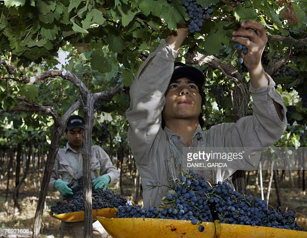 Gaston Rojas and his brother Marcelo pick up Malbec grapes at Familia Zuccardi's vineyard 11 March 2006 in Mendoza Argentina Malbec wine is according...