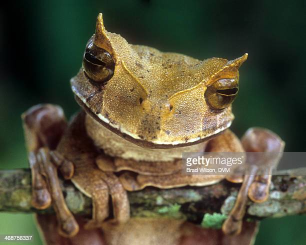 gastrotheca cornuta, horned marsupial frog - horned frog stock photos and pictures