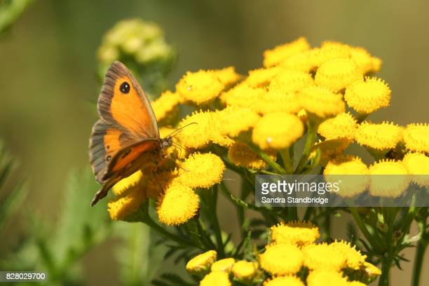 a gatekeeper butterfly (pyronia tithonus) nectaring on flowers. - hertford hertfordshire stock pictures, royalty-free photos & images