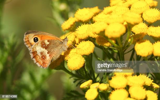 a gatekeeper butterfly (pyronia tithonus) nectaring on yellow flowers. - hertford hertfordshire stockfoto's en -beelden