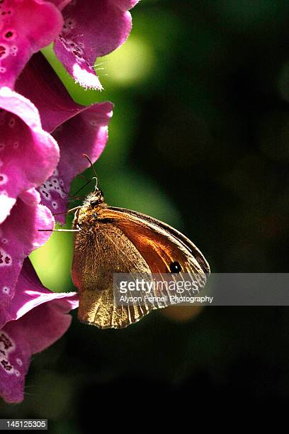 gatekeeper butterfly on foxgloves flowers - alyson fennell stock pictures, royalty-free photos & images