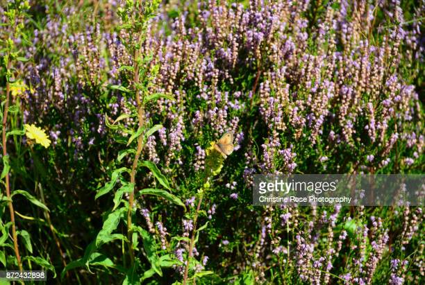 gatekeeper on the heather - christine heather stock pictures, royalty-free photos & images