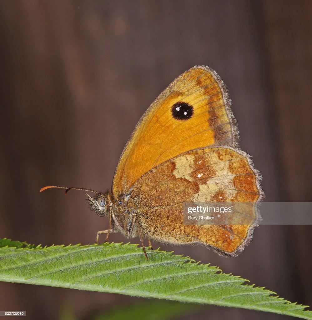 Gatekeeper [Pyronia tithonus] butterfly : Stock Photo