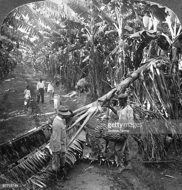 Gathering bananas at the famous Cedar Grove Plantation Jamaica
