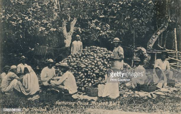 Gathering Cocoa Trinidad BWI' early 20th century Workers with a pile of cocoa beans on a plantation during the colonial period Cacao or cocoa has...