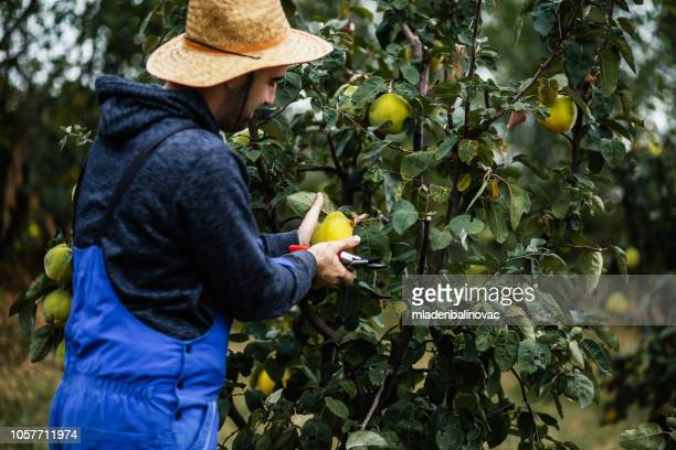 gathering fresh fruits from tree - fruit farm stock photos and pictures