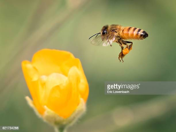 Gathering Honeybee in Flight