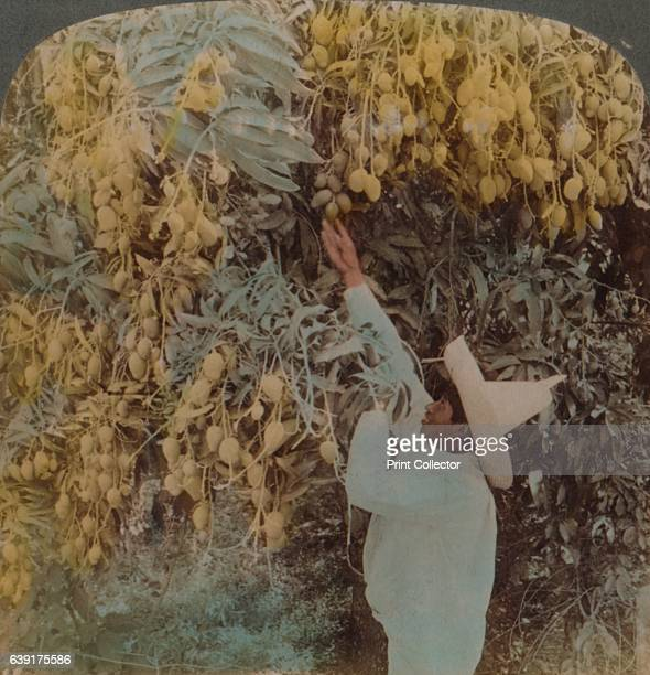 Gathering luscious fruit from a heavily laden mango tree, Cuernavaca, Mexico', 1907. From The Underwood Travel Library, [Underwood & Underwood,...