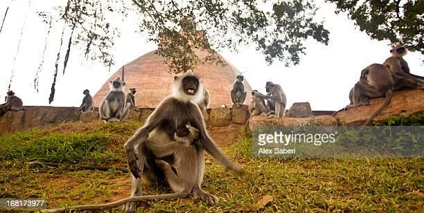 a gathering of hanuman langurs outside jethawana temple. - alex saberi stockfoto's en -beelden