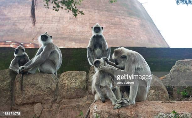 a gathering of hanuman langurs outside jethawana temple. - alex saberi fotografías e imágenes de stock