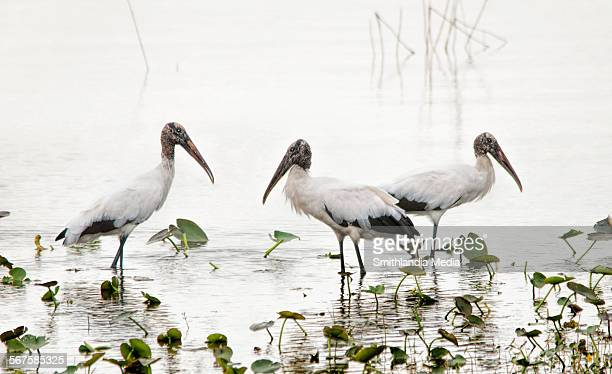 gathering of woodstorks - correction fluid stock pictures, royalty-free photos & images