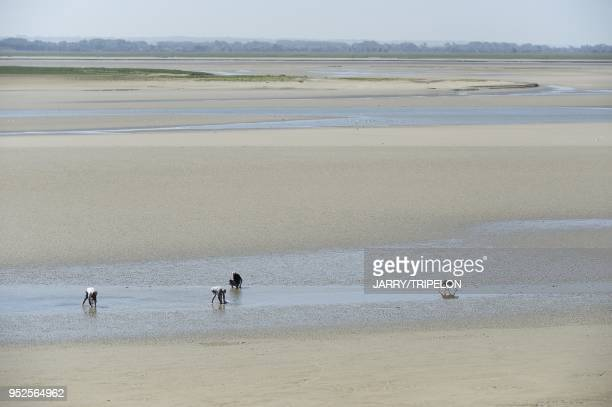 Gathering seafood by hand on the beach of Le Crotoy Baie de Somme and Cote d'Opale area Somme department Picardie region France