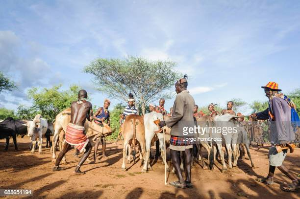 Gathering the cattle for a bull jumping ceremony A rite of passage from boys to men from the Hamer tribe