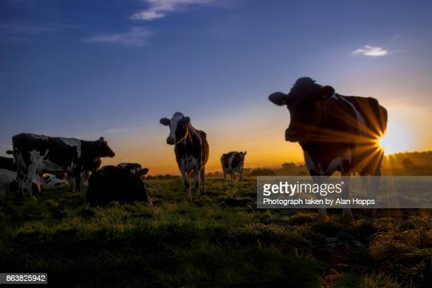 gathering the cows at sunrise - milk pack stock photos and pictures