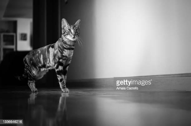 gato cachorro en pasillo en blanco y negro - blanco y negro ストックフォトと画像