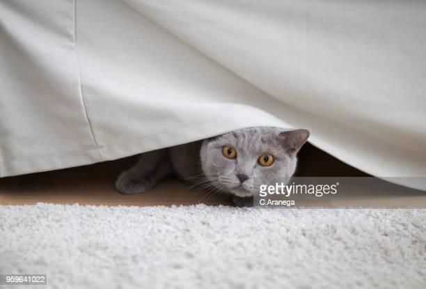 gato escondido debajo del sofá - esconder imagens e fotografias de stock