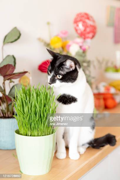 gato europeo y hierba gatuna - catmint stock pictures, royalty-free photos & images
