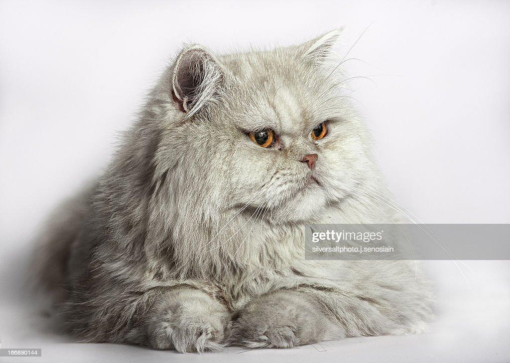 Gato persa : Stock Photo