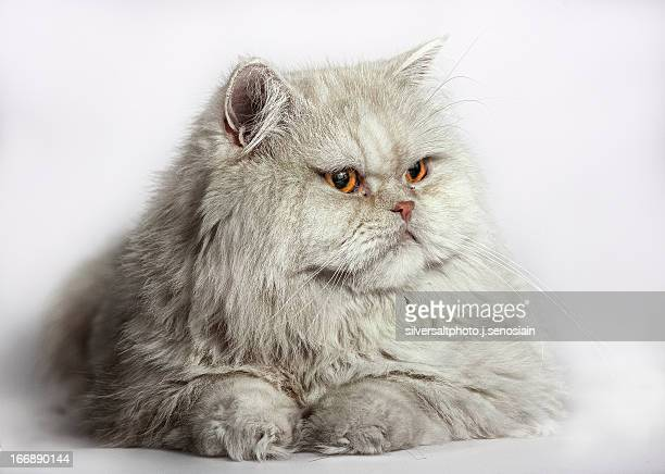 gato persa - persian stock photos and pictures