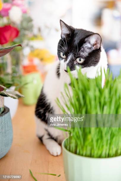 gato y hierba gatuna - catmint stock pictures, royalty-free photos & images