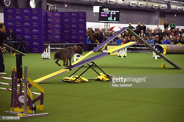 Gator a Wirehaired Pointing Griffon competes in the Westminster Kennel Club and AKC Meet and Compete at Pier 92 on February 13 2016 in New York City