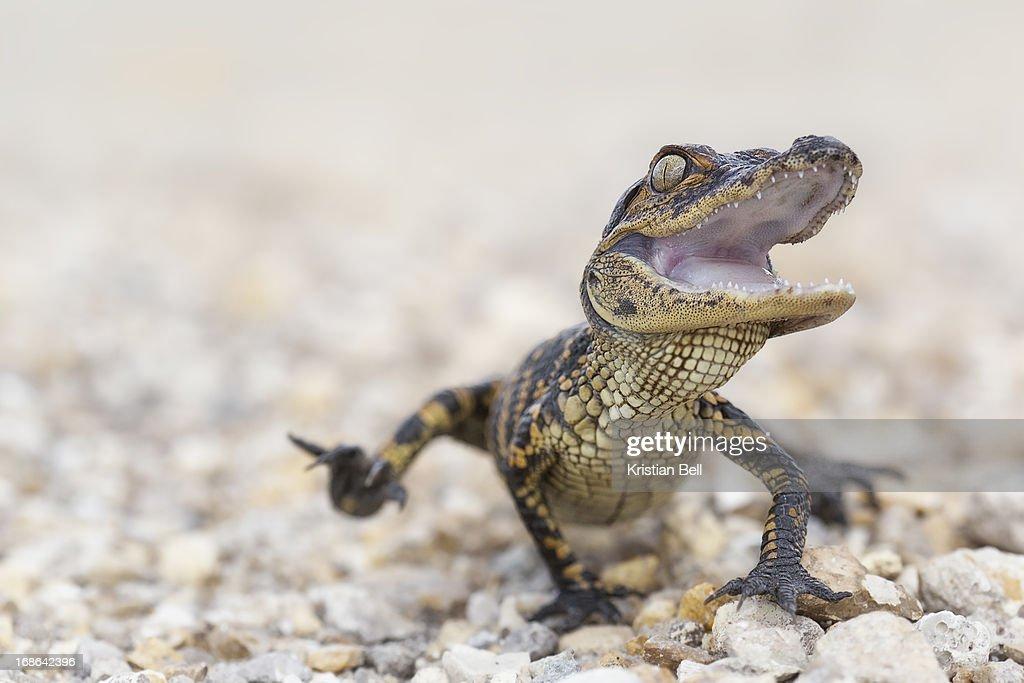 Gator attack : Stock Photo