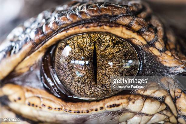 gator eye - crocodile photos et images de collection