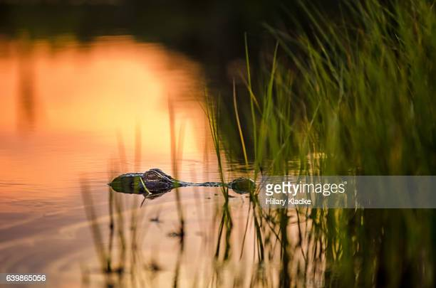 gator lurking in a lake at sunset - gainesville florida stock photos and pictures