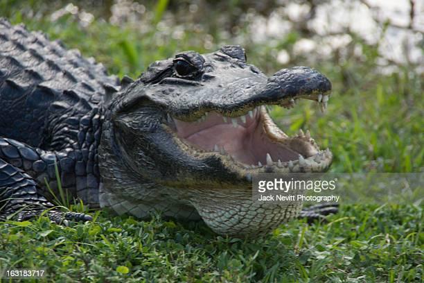 Gator mouth