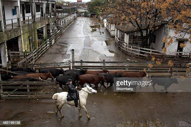 A gaucho drives cattle through the Liniers Beef Market after being sold to buyers in Buenos Aires Argentina on Saturday July 31 2015 Argentina can...