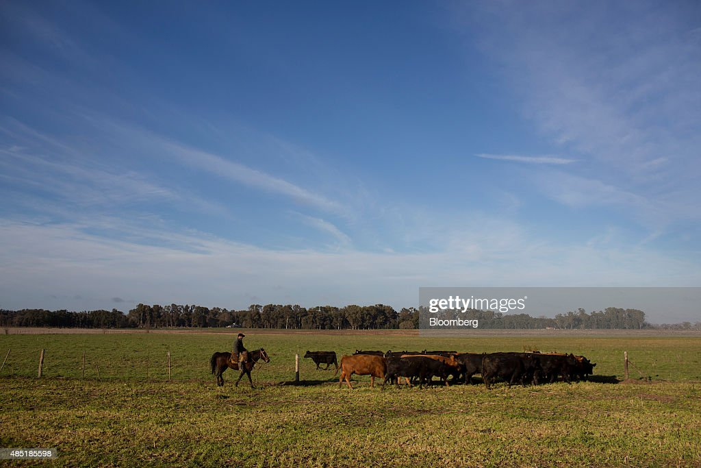 Cattle Are Driven To Market As WTO Ruling Clears Way For Beef ...