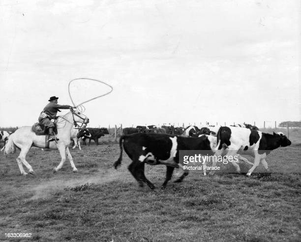 A Gaucho on horseback twirling his lasso to rope a cow in Argentina 1955