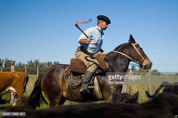 Gaucho rounding up black angus cattle on horseback