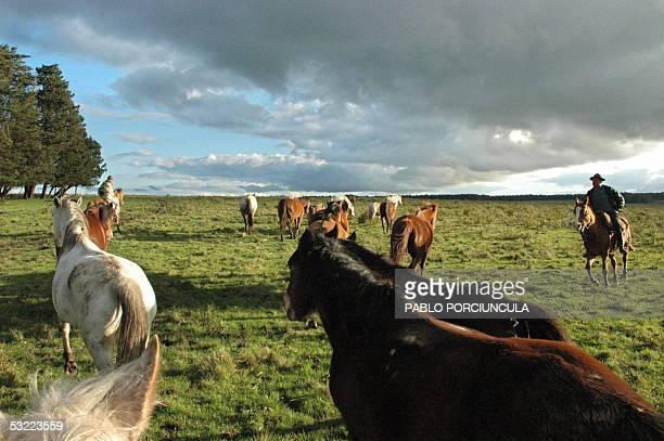 Gauchos herd horses to a pasture at the San Pedro del Timote estancia 150 km from Montevideo Uruguay 20 June 2005 AFP PHOTO/PABLO PORCIUNCULA