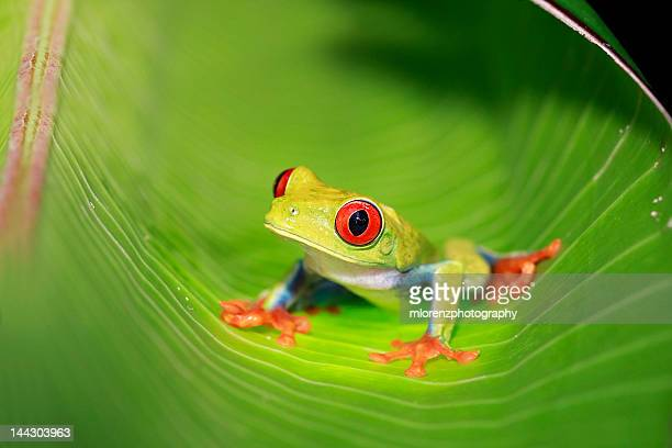 gaudy leaf frog - tree frog stock pictures, royalty-free photos & images