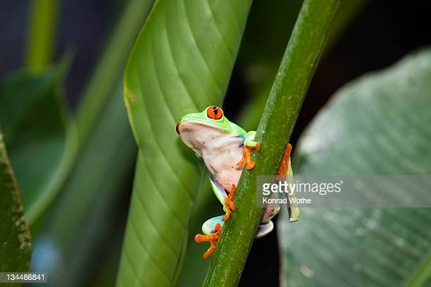 gaudy leaf frog, redeyed tree frog (agalychnis callidryas), rainforest, costa rica, central america - bizarre fashion stock pictures, royalty-free photos & images