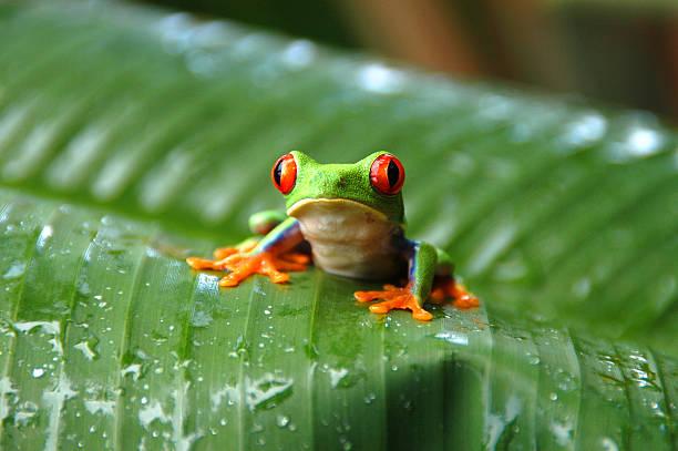 Gaudy Leaf Tree Frog #002