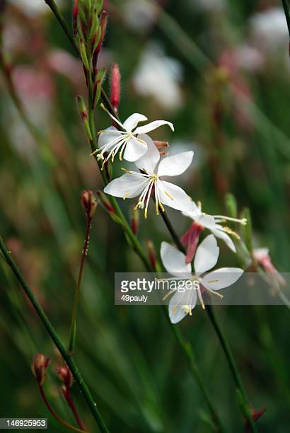 gaura short forme - forme stock photos and pictures
